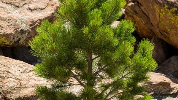 Ponderosa Pine - Potted