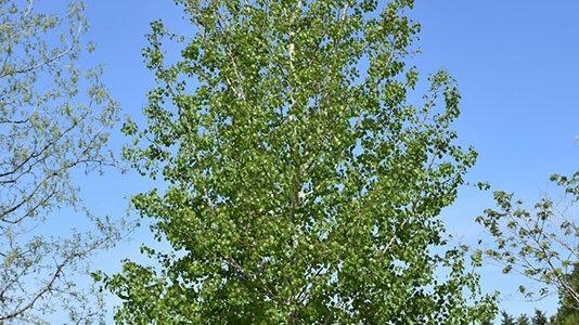 Quaking Aspen - Bare Root