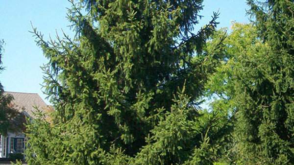Norway Spruce - Potted