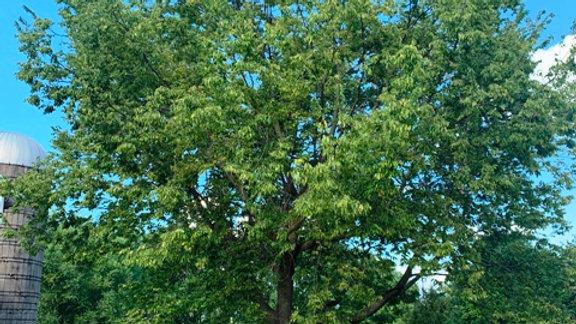 Hackberry - Bare Root