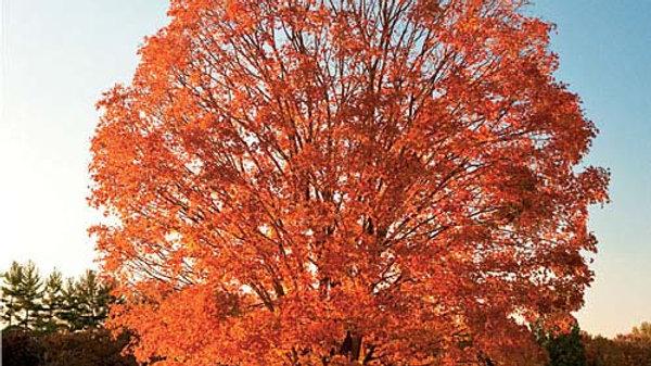 Sugar Maple - Bare Root
