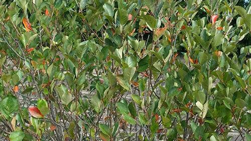 Black Chokeberry - Bare Root