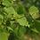 Thumbnail: Quaking Aspen - Bare Root