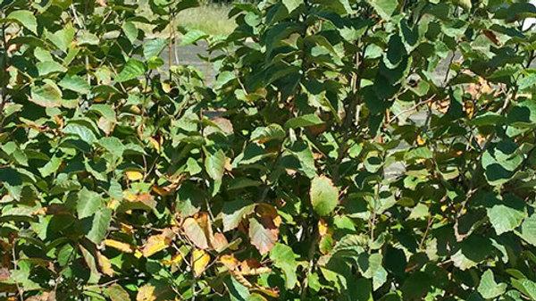 Hazelnut - Bare Root