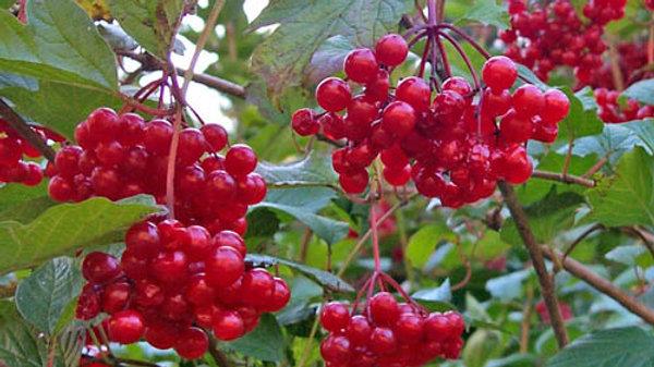 Cranberry (Highbush) - Bare Root