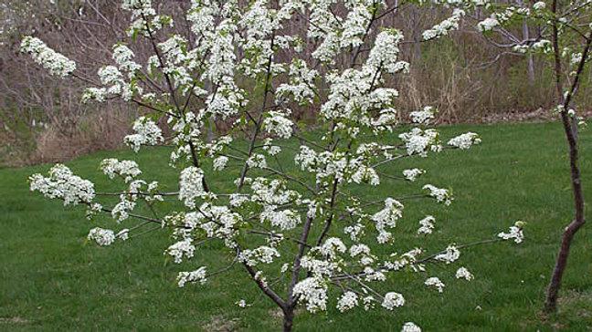 Plum (Prairie Red) - Bare Root