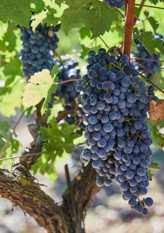 Callet Son Sureda Ric grapes