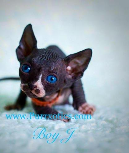 Odd eye sphynx kittens for sale