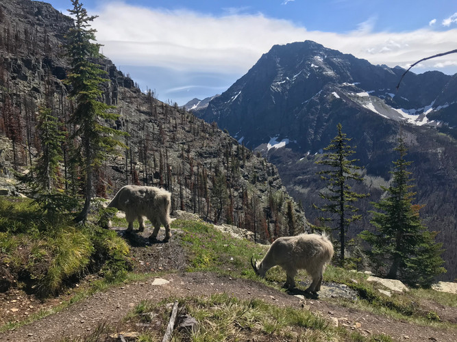 Mountain goats on Mt. Brown trail