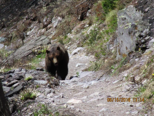 Grizzley on Sperry Trail