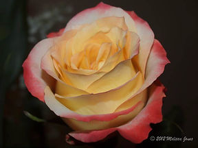 Rose Yellow & Pink-2.jpg
