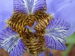 Flor da Íris