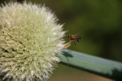 Flor da cebolinha