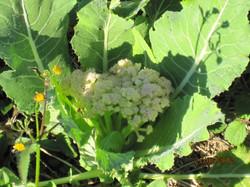 Flor da couve-flor