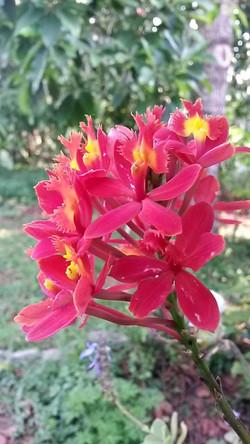 Orquídea de vaso