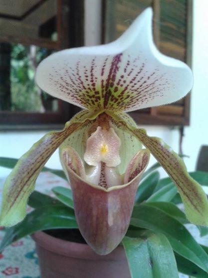 Orquídea Sapatinho de Venus