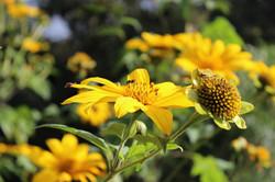 Flor de margaridão