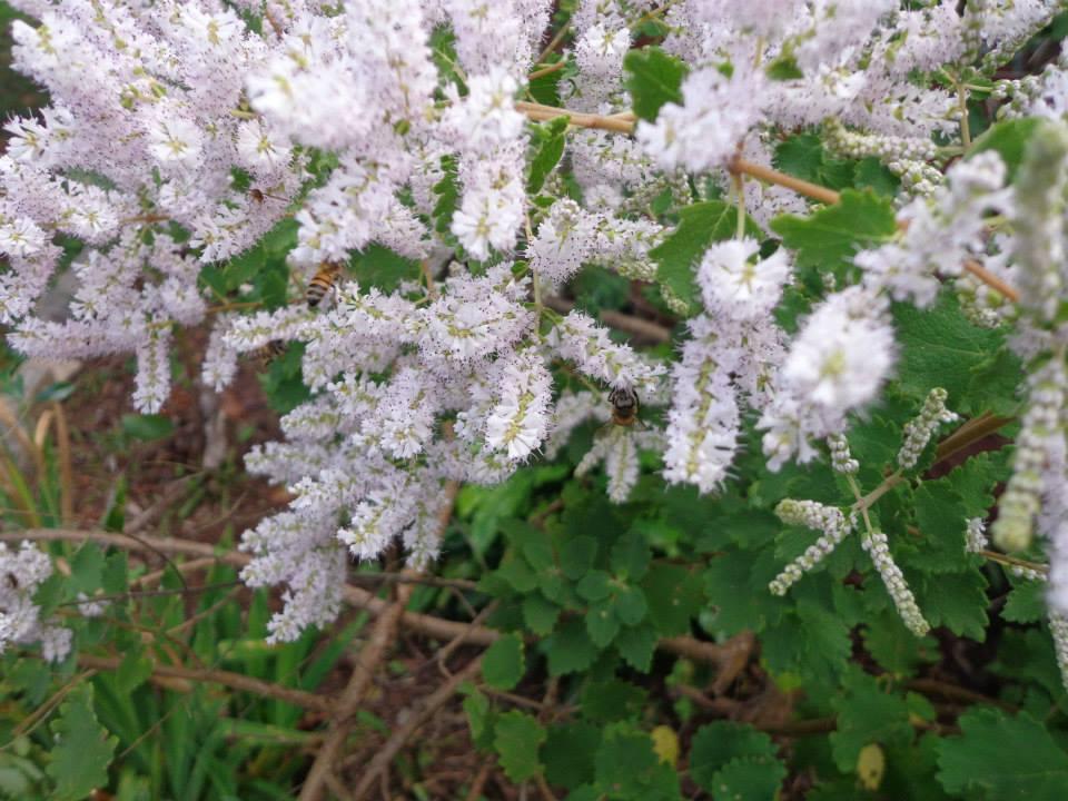 Flor de mirra