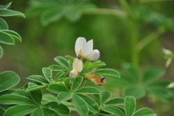 Flor do tremoço