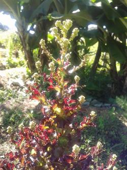 Flor do alface roxo