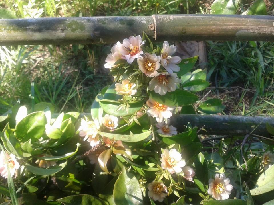 Flor da Ora-pro-nobis