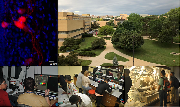 The NSF PRCEN program sponsored travel for eight UPR students to participate in the workshop Modern Methods in Microscopy: Advances, Strategies, and Techniques for Neuroscience at the University of Kansas. May 31 - June 8, 2019.  Students received training from Dr. Eduardo Rosa-Molinar and Dr. Noraida Martinéz-Rivera of the UK Biological Imaging Group / Microscopy and Analytical Imaging Research Resource Core Laboratory. Topics included sample preparation, confocal microscopy, multi-photon microscopy, image analysis, and rigor & reproducibility. Thanks to Drs. Rosa-Molinar, Martínez-Rivera, and the entire team of UPR and UK administrative and scientific staff that made this exceptional experience possible.