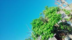 木蓮の木と空