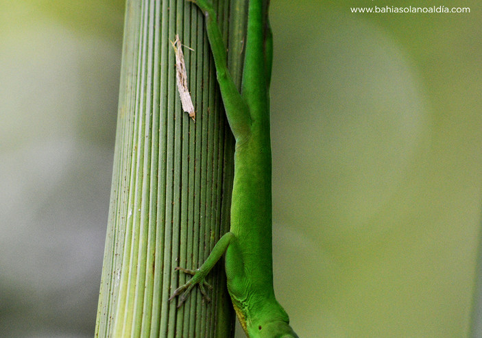 lagartija verde.jpg