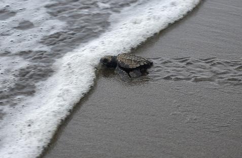 Tortuga entrando al agua.jpg