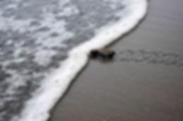 tortuga entrando al mar.jpg