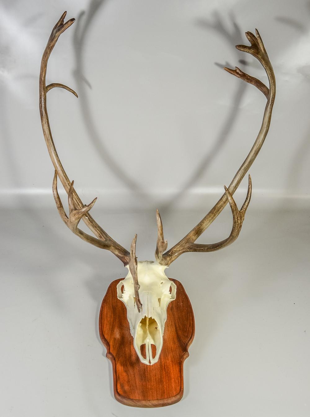 Caribou Reindeer Trophy Skull Mount Taxidermy