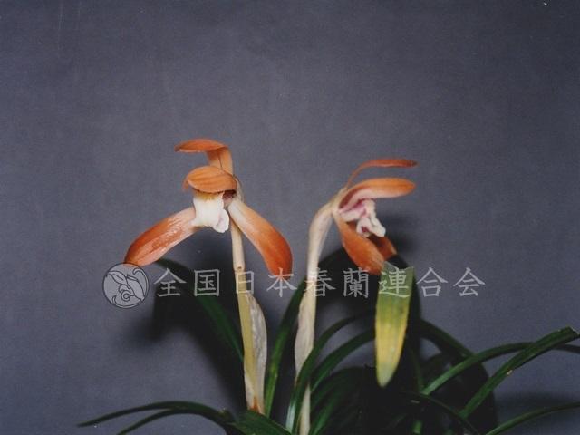 伏見桜  Fushimizakura