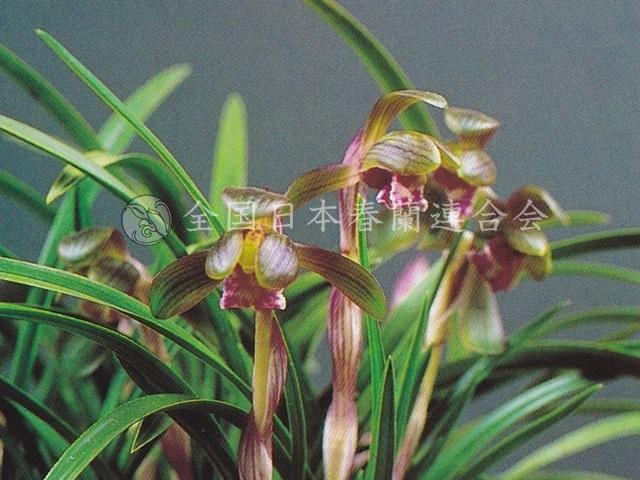 紫宝  Shihou