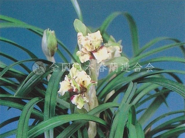 御国の花  Mikuninohana