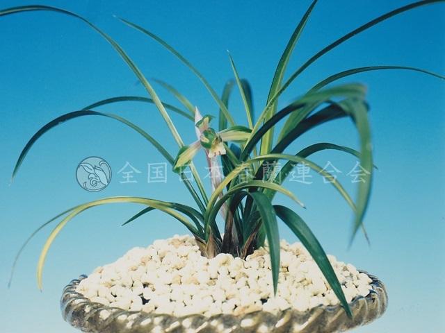 若海の花  Wagominohana