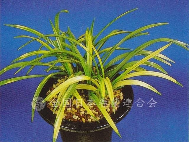 菖城の花  Syoujyounohana