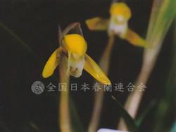 黄金錦  Koganenishiki