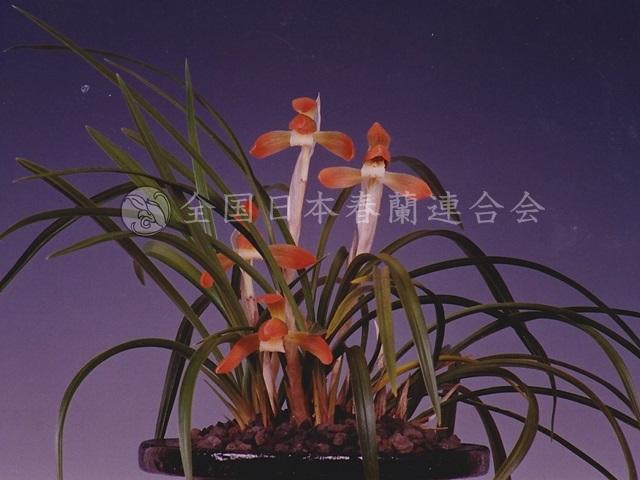 紅桜  Benizakura