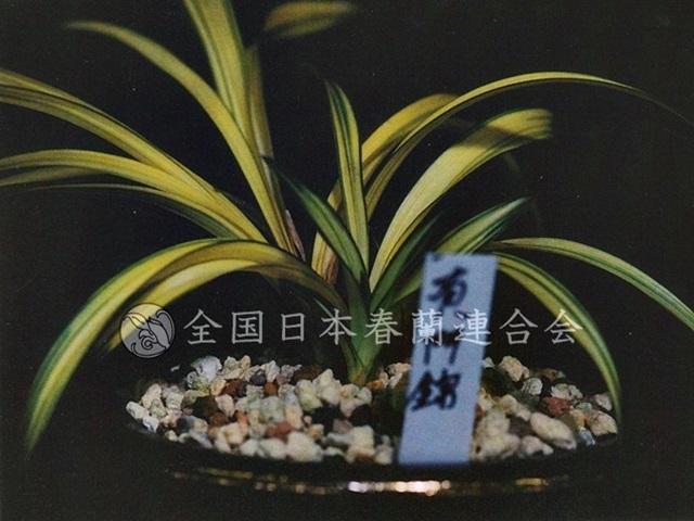 黄門錦  Koumonnishiki