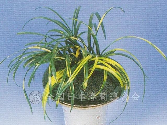 霞の花  Kasuminohana