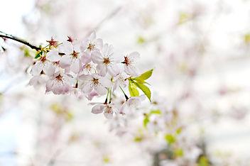 cherry-blossom-1246539_1920.jpg