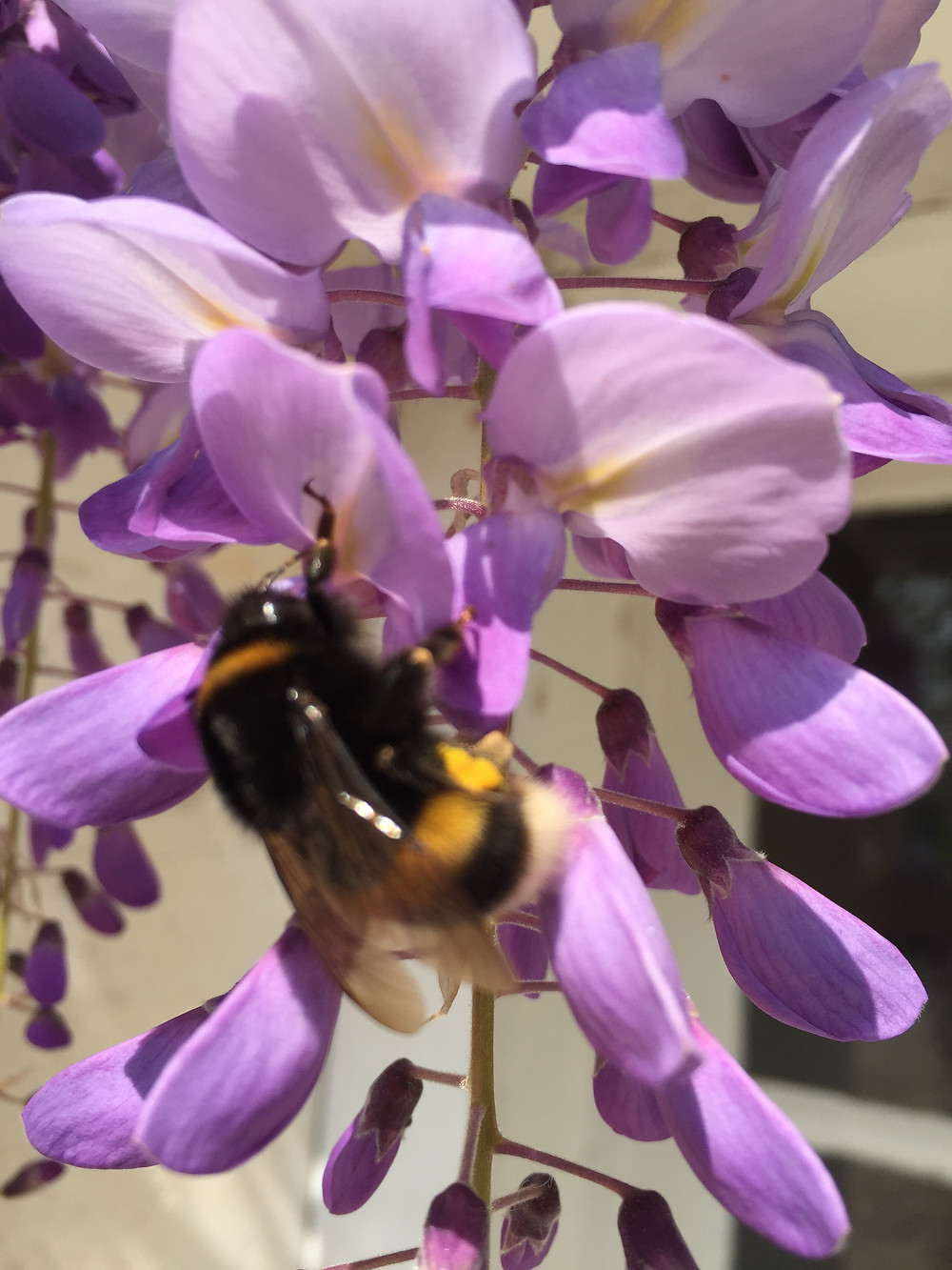 The bees love the wisteria!