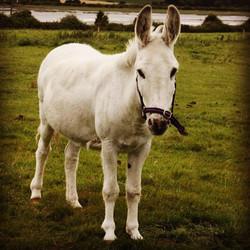 Eddie the Donkey