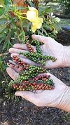Costa Rica Black Peppercorns.
