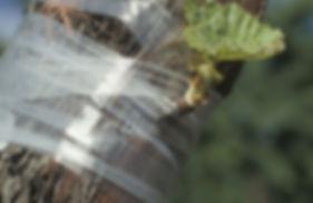Spruce graft.jpg