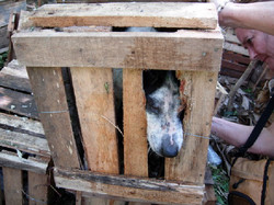dogs-transported-in-crates
