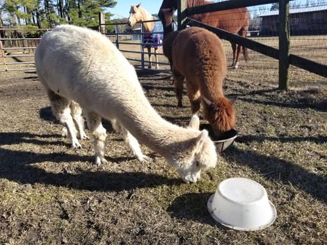West Prong Acres Alpacas.jpg