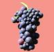 Wein, Weinberg, Mallorca, Geschenk, Rebenpatenschaft, Weingeschenke, Rebsorten, Weihnachtsgeschenk, Weinberg, Weinstock