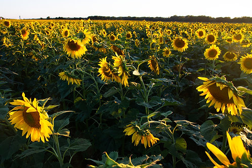 Sunflower Field Kitchen Board