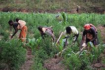 femmes travail champs artemisia.JPG